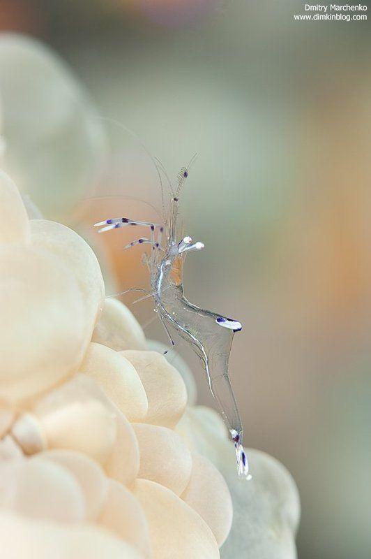 shrimp, креветка, underwater Из стекла...photo preview