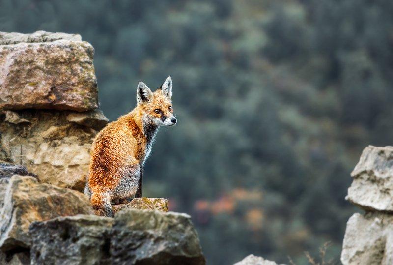 Лиса, Лисенок, Рыжий, малыш, животное, зверь, очаровательный, cute, fox, red fox Лисенок photo preview