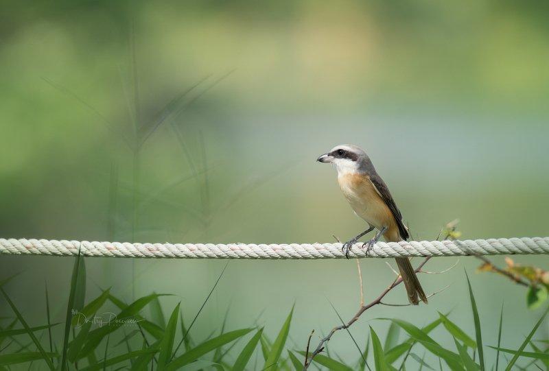 природа, животные, птицы, вьетнам, остров фукок Сибиряк в теплых краях ;)photo preview