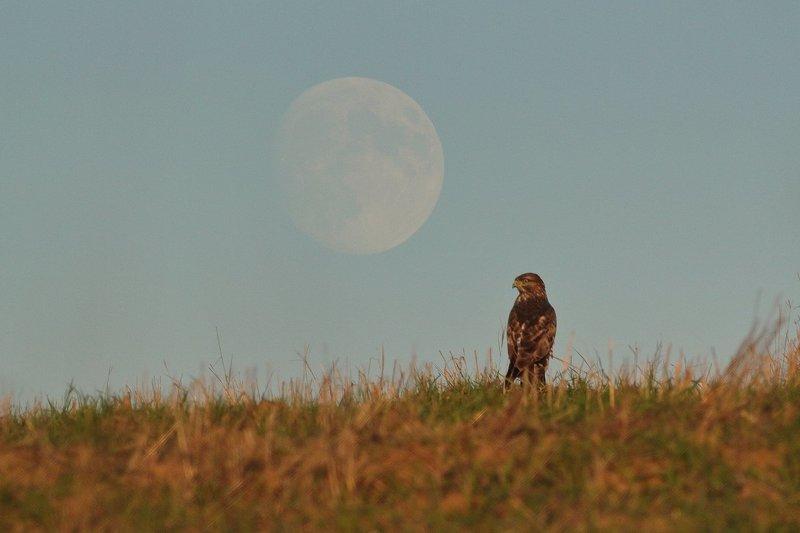 Канюк и Луна на закатеphoto preview