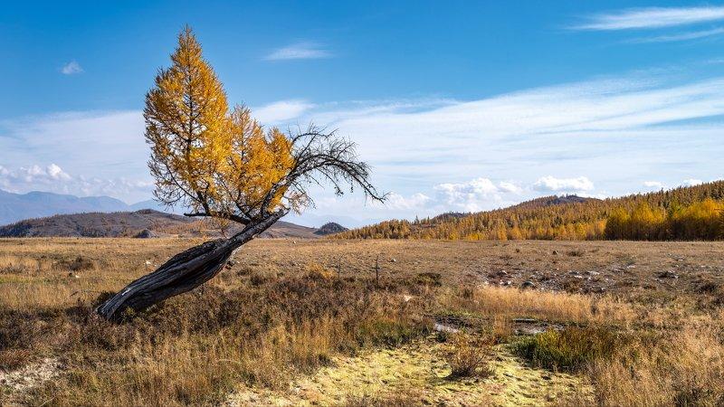 горы, алтай, горный алтай, пейзаж, природа, россия, ник васильев, красота, дерево, лиственница, феникс, курай, курайская степь Курайский Феникс.photo preview