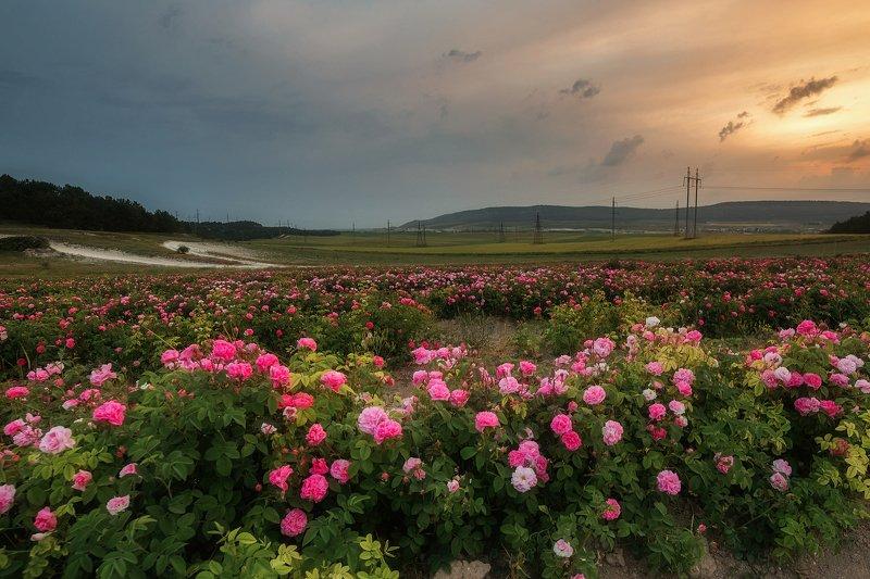 крым, лето, путешествие, розы, цветы, плантации, закат, бахчисарай, тургеневка, крымская роза Вспоминая лето...photo preview