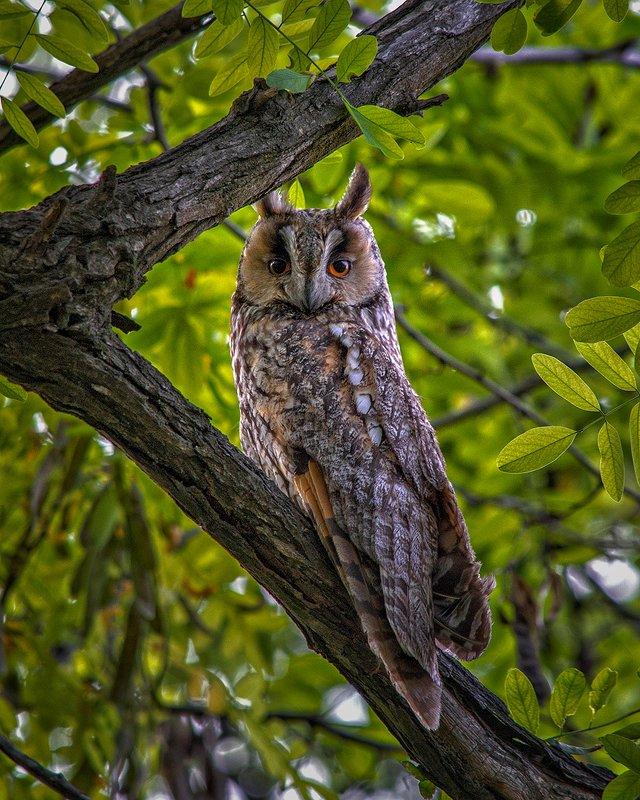 ушастая сова, сова, совёнок, птицы, природа, животные, Ушастая соваphoto preview