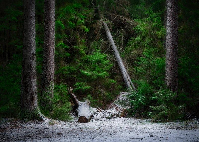 лес, снег, пейзаж, комарово Первый снег, Комаровоphoto preview