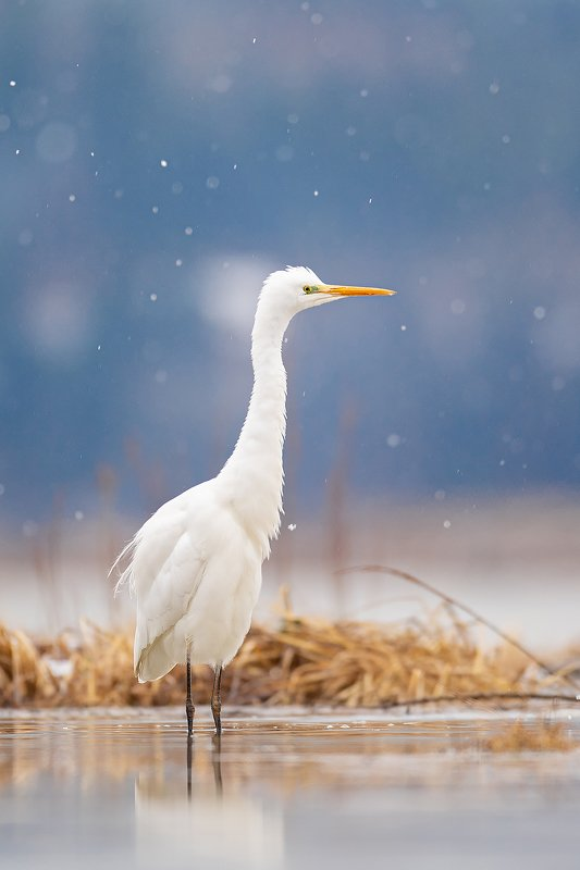 bird, nature, poland, heron, animal, snow, nikon, sigma, sigma500, sigmafotopolska White heron with snowphoto preview