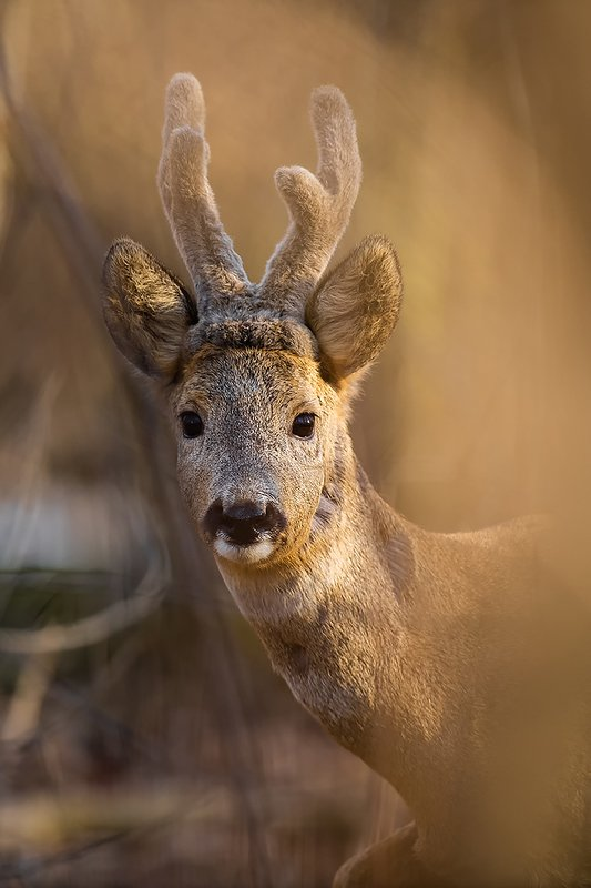 deer, roe, nature, poland, animal, forest, portraitw, nikon, sigma Forest portraitphoto preview