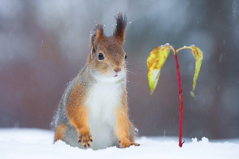 белка, снег, ёлка когда ёлки в дефицитеphoto preview