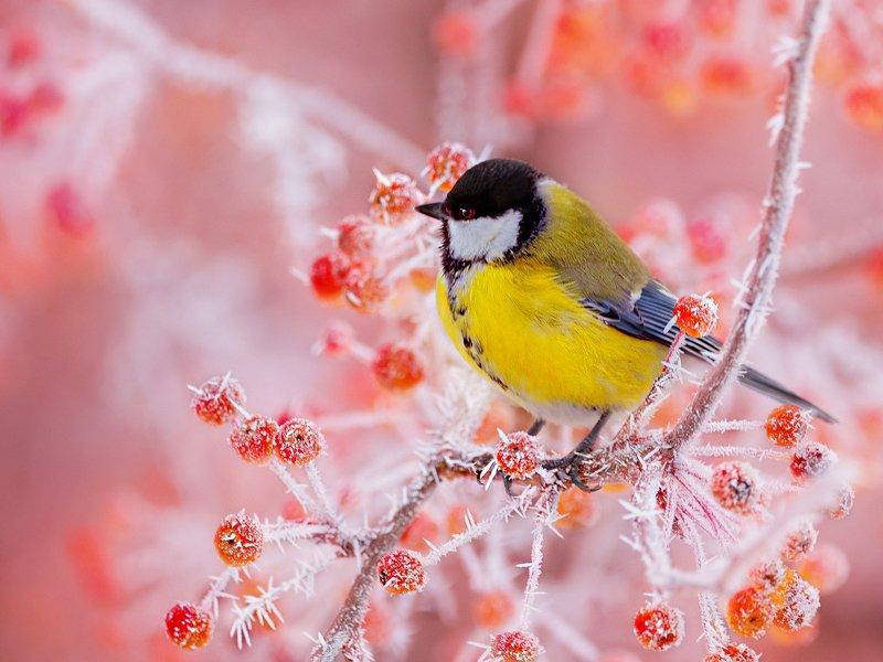 природа, фотоохота,  птицы, животные, зима,синица Чупа Чупсы от Деда Морозаphoto preview