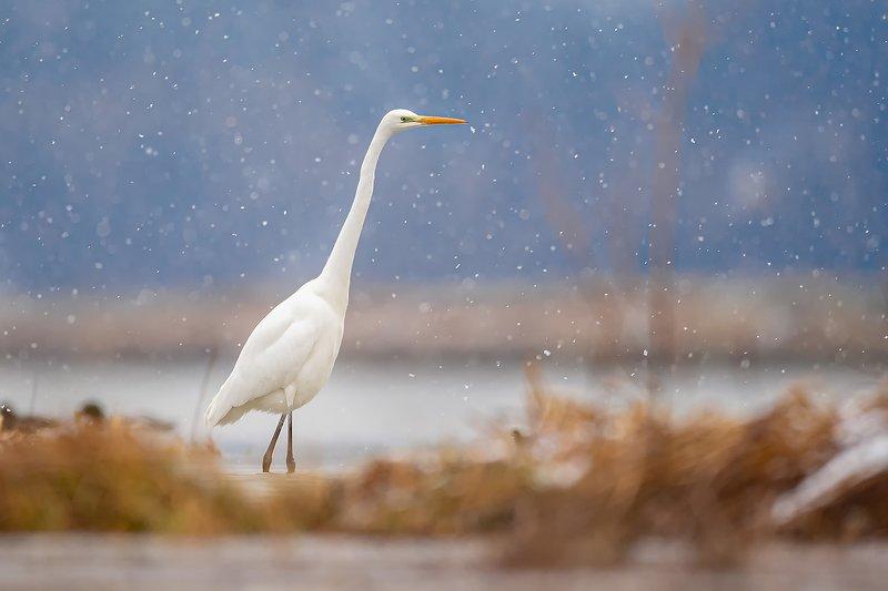 bird, nature, poland, heron, animal, snow, nikon, sigma, sigma500, sigmafotopolska With snowphoto preview