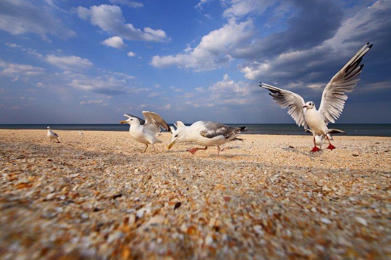 хохотунья, larus, cachinnans, озерная, чайка, chroicocephalus, ridibundus, азовское, море, пляж Поналетелиphoto preview
