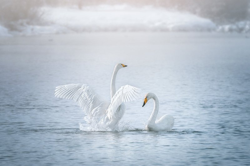 Лебеди, Озеро Светлое  Ты посмотри, как я хорош...photo preview