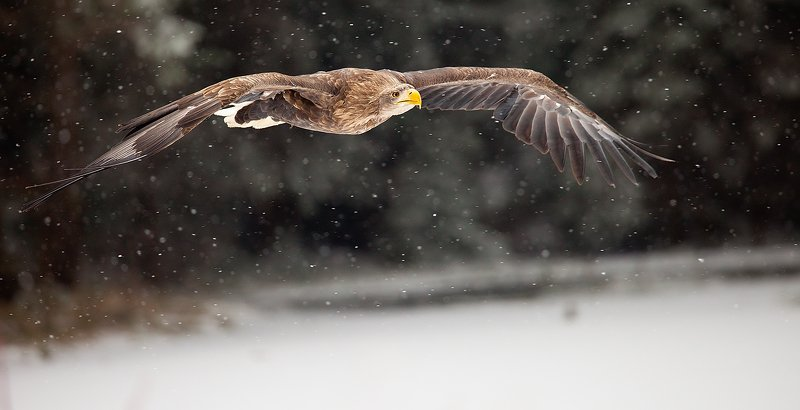 Sea Eaglephoto preview