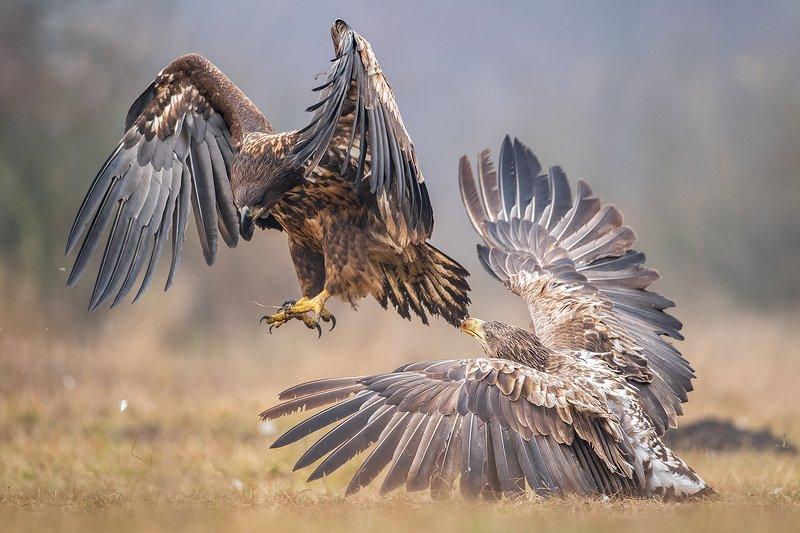 bird, nature, poland, eagle, animal, snow, nikon Eagles fightphoto preview