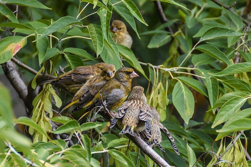 природа,животные,птицы Под папиной  охраной. Зеленушкиphoto preview