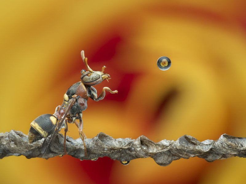 #macro#wasp#waterbubble#reflection#colors Wasp Blowing Water Bubble 200102Aphoto preview