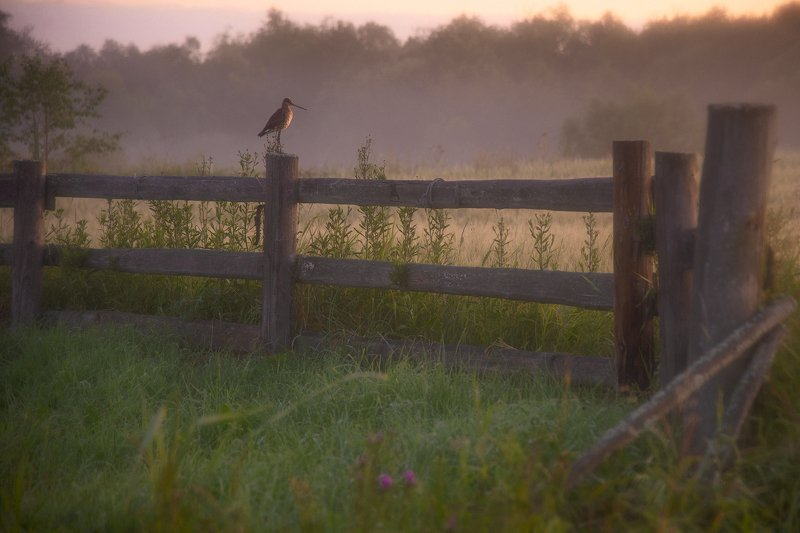 фотоохота, деревня, рассвет, бёдвотчинг, туман Утренний стражphoto preview