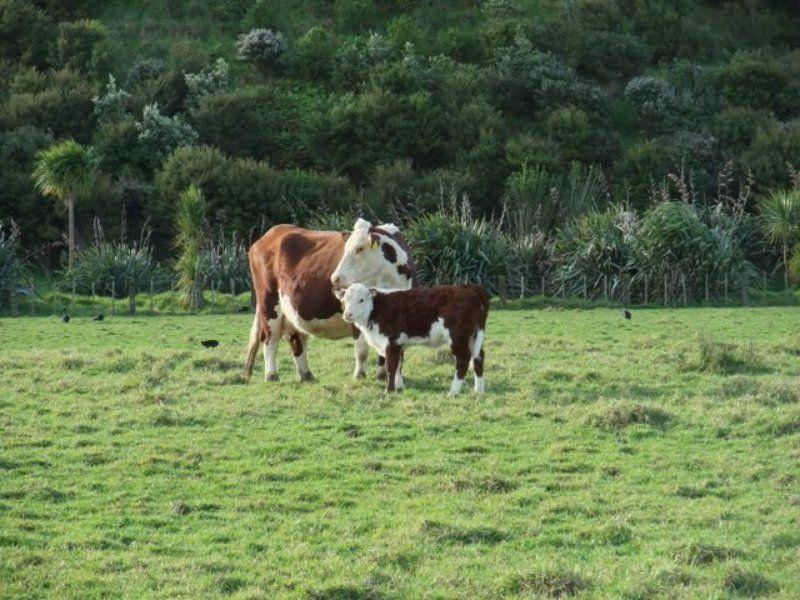 коровы, зеландия Коровыphoto preview