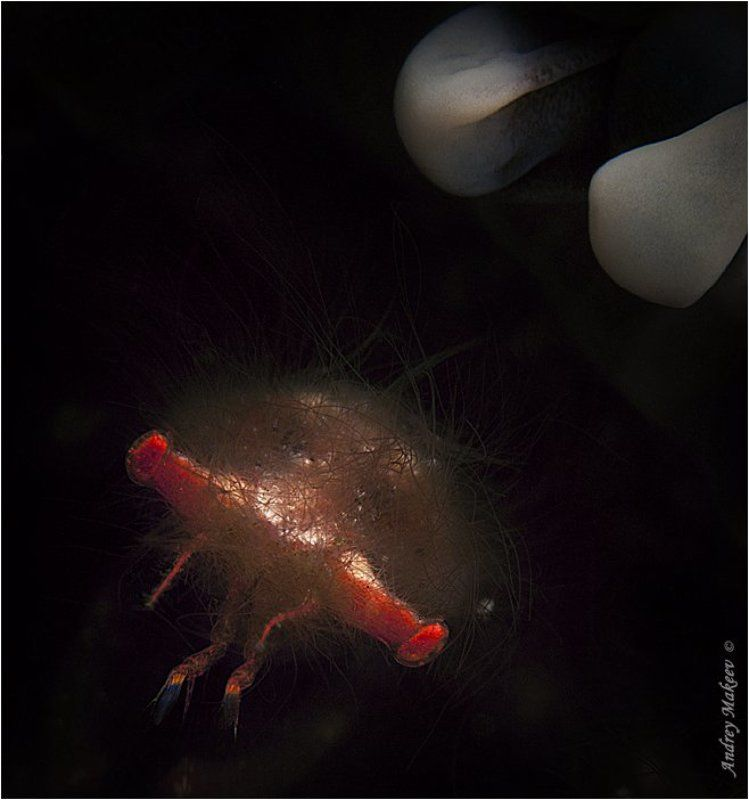 тихий океан, индонезия, комодо, краб - орангутанг. макро 3:1 Волосатый ужасphoto preview