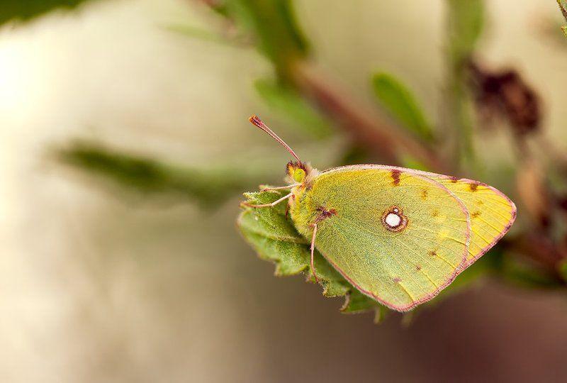 lepidoptera Colias croceaphoto preview
