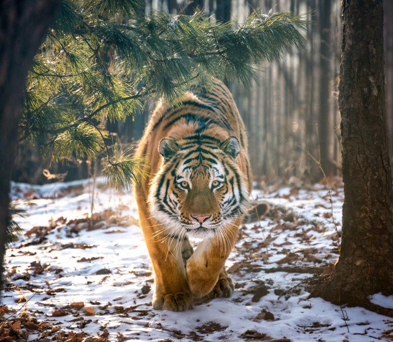 приморье, владивосток Приморье. Амурский тигр.photo preview
