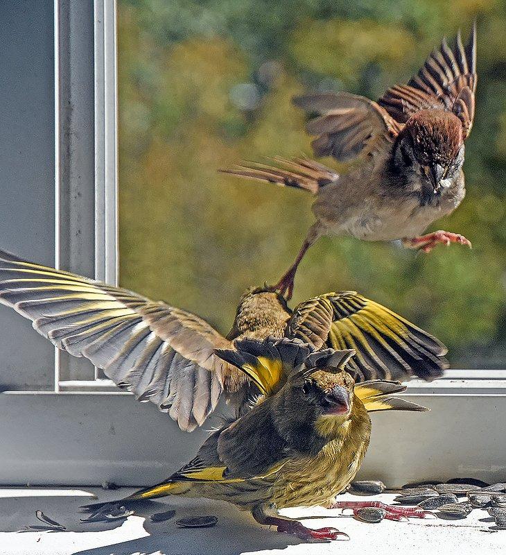 птицы,зеленушки,вообьи бойцовский клубphoto preview