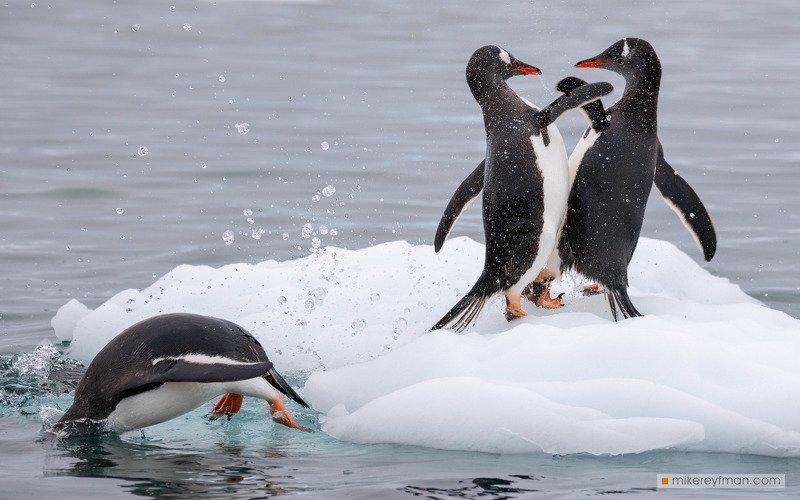 веселые пингвины photo preview