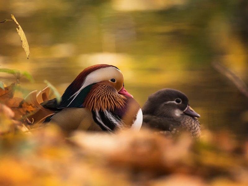 ptak#zwierze#natura#jesień#kolor# Para mieszanaphoto preview