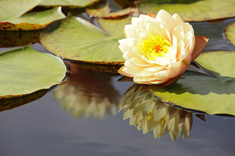 цветы растения кувшинка природа лето Кувшинкаphoto preview