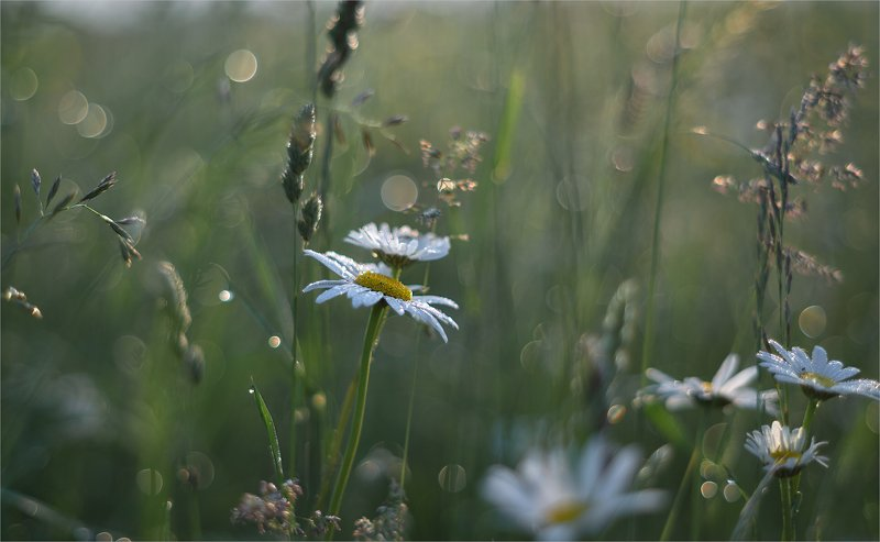 morning of field daisies...photo preview