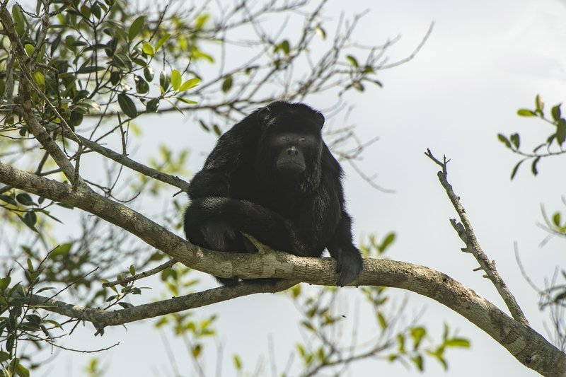 обезьяна бразилия чо то ОНИ на меня пялятся?????photo preview