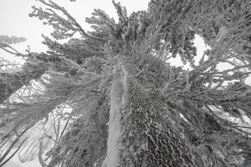 снег, иней, снежные узоры, мороз, кедры, гора зелёная, зима, шерегеш, горная шория, сибирь Из жизни Сибирских кедровphoto preview
