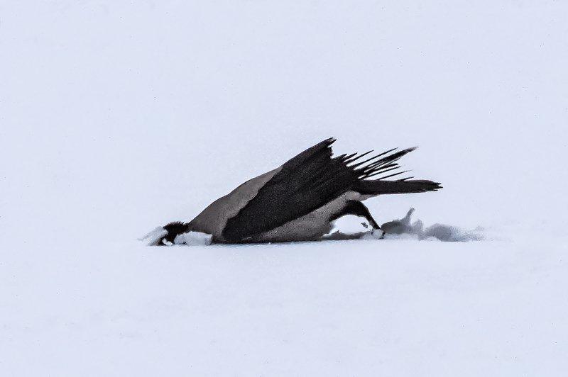 птица,ворона освежитель головыphoto preview