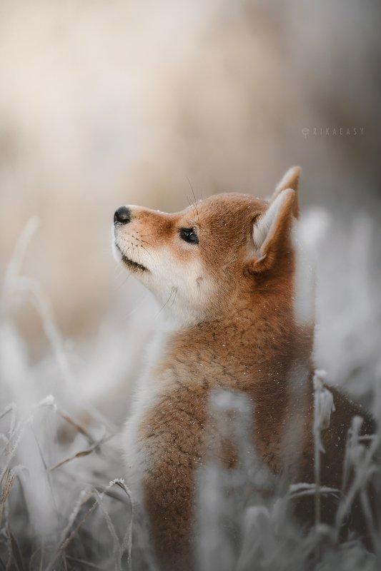 зима, сиба, шиба, сиба ину, щенки, иней, закат, снег Winter eveningphoto preview