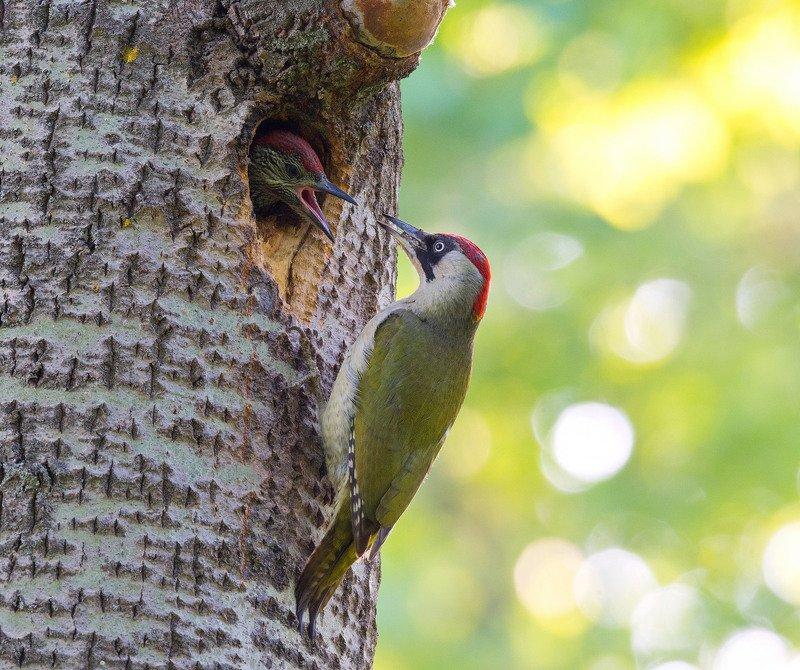 птица птенцы зелёный дятел У дупла зелёного дятлаphoto preview