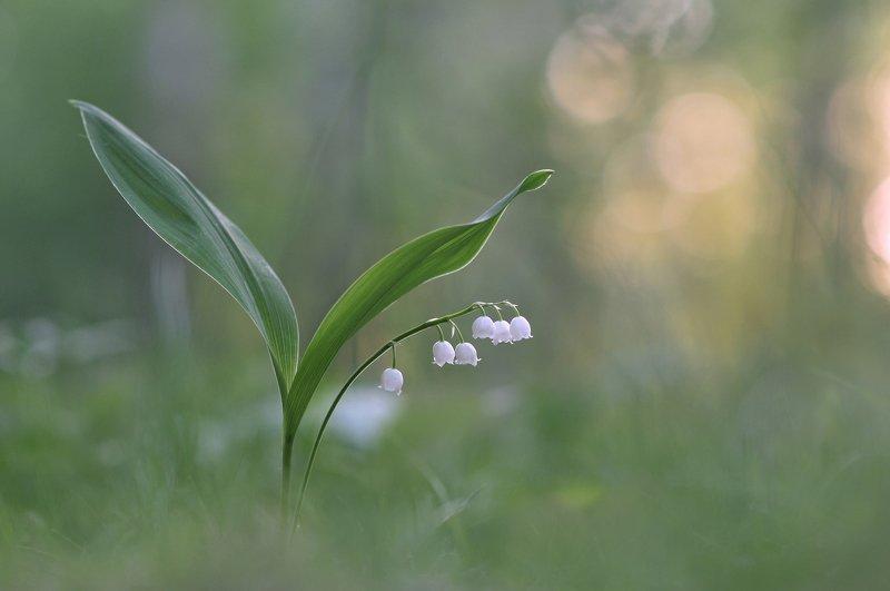 ландыши, закат. весна Колокольчики на ножкахphoto preview