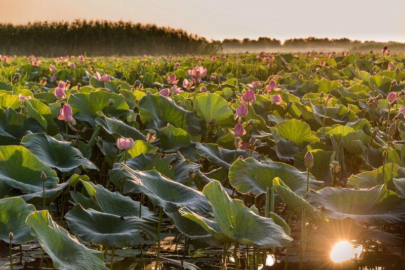 лотосы, дельта волги, астраханская область, август, цветение, вода, солнце Лотосы. Дельта Волгиphoto preview
