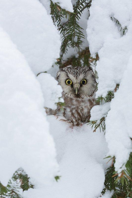 мохноногий сыч, сова, зима, снег, терем снежный теремphoto preview