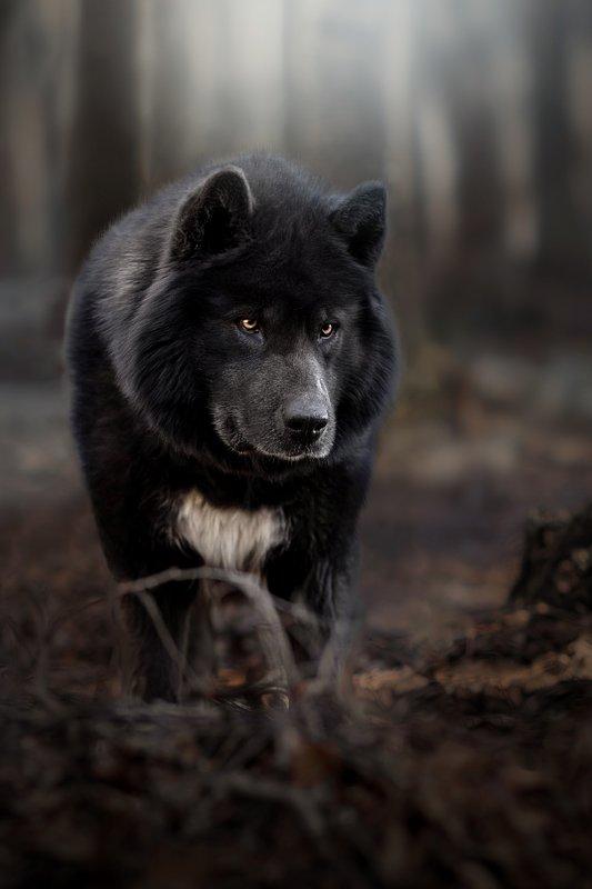 Канадский волкphoto preview