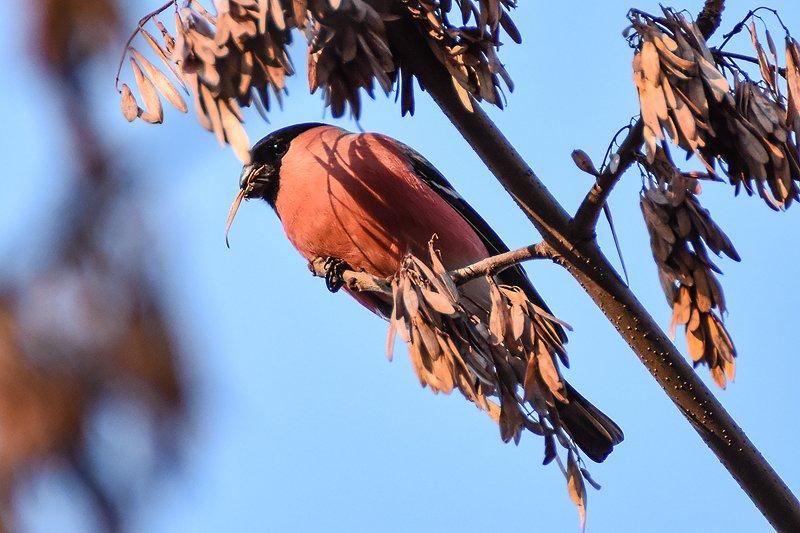 птицы, природа снегирьphoto preview