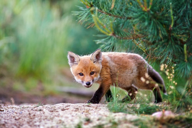 fox, red fox, wildlife, forest Crouching Tiger, Hidden Dragonphoto preview