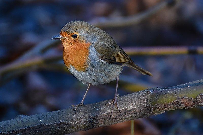 птицы, природа зарянкаphoto preview