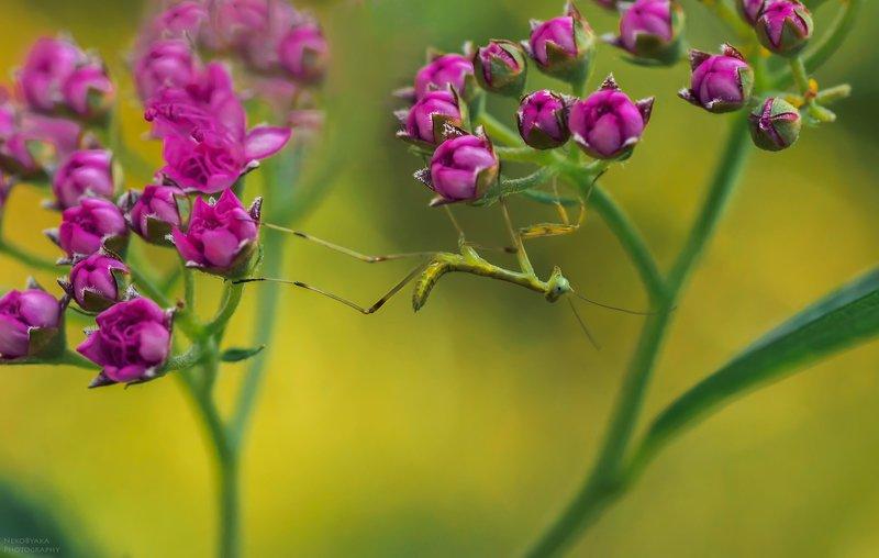 макро, природа, цветы, лето, богомолы, насекомые, боке, macro, nature, flowers, summer, mantis, insects, bokeh малышняphoto preview
