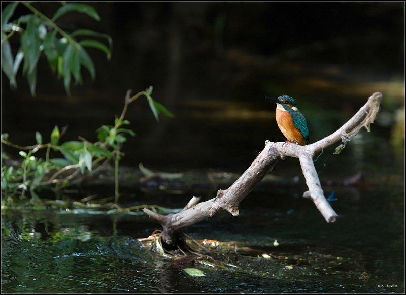 птица,зимородок,река,лето Летние денькиphoto preview