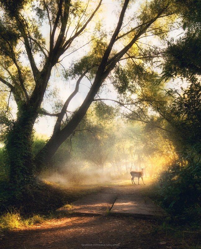 утро, туман, деревья, свет, лучи, лето, олень  Летнее утроphoto preview
