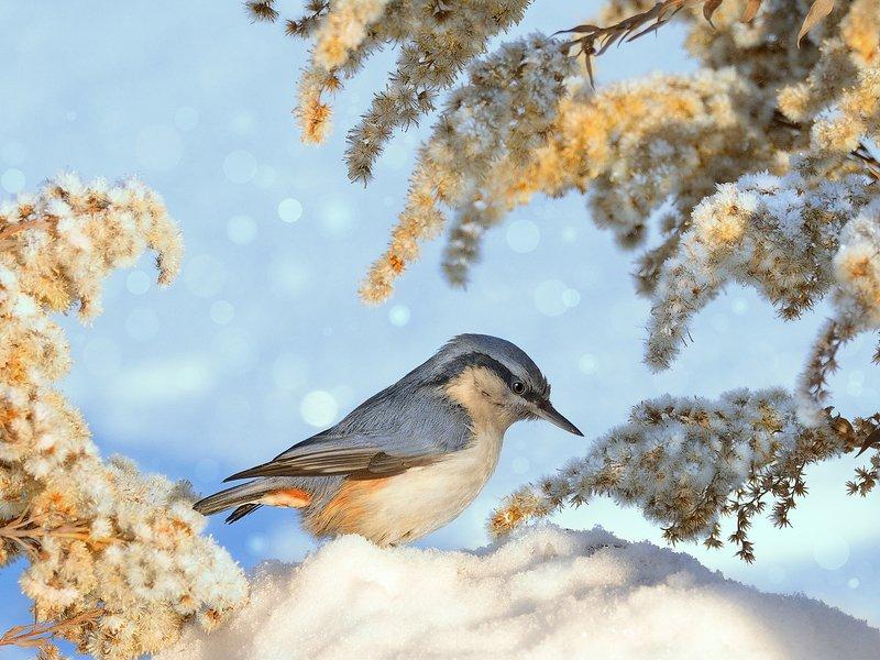 природа, фотоохота,  птицы, животные, зима, поползень Зимние птицы Россииphoto preview
