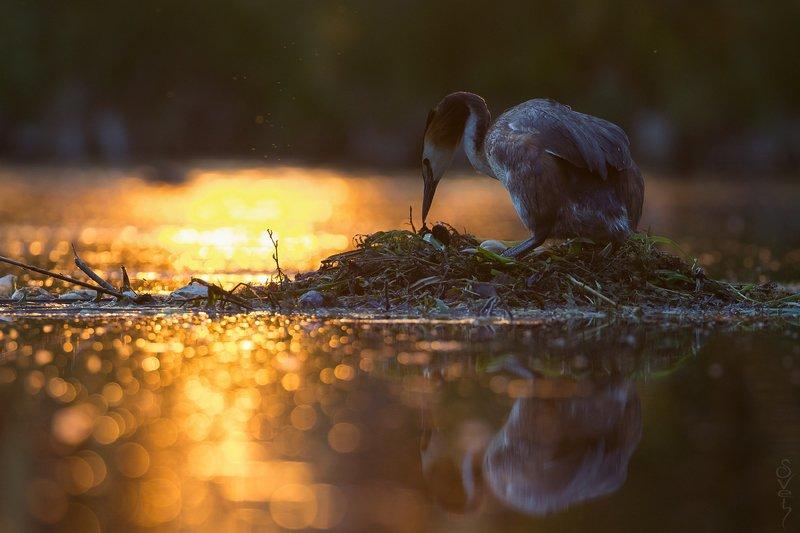 чомга, большая поганка, гнездо в ожидании первенцаphoto preview