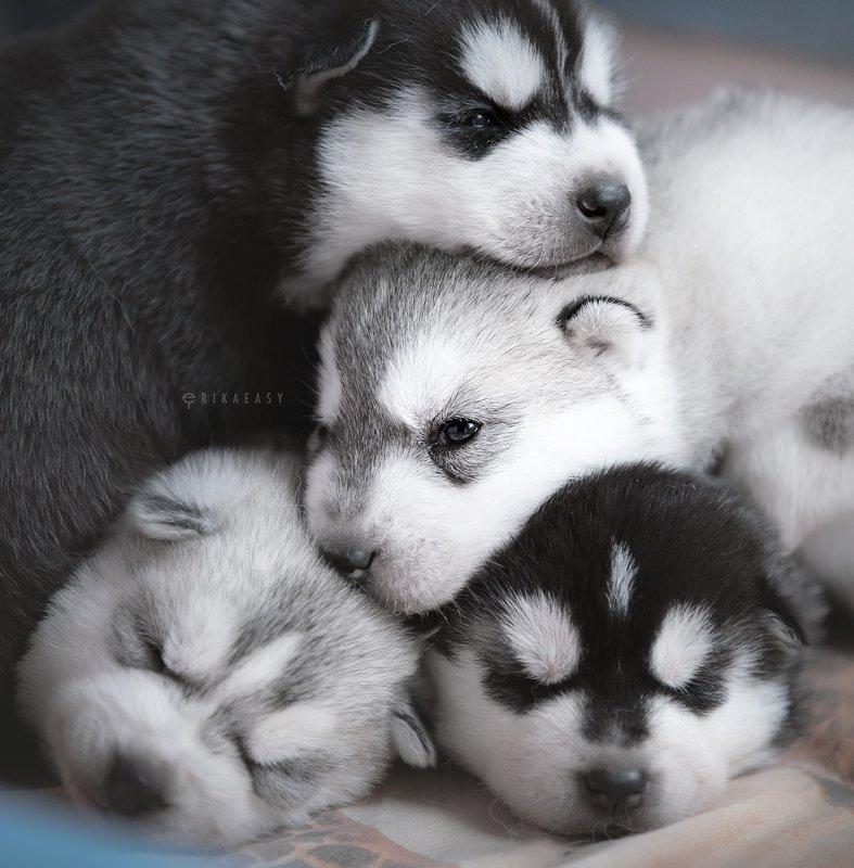 хаски, щенки puppies!photo preview