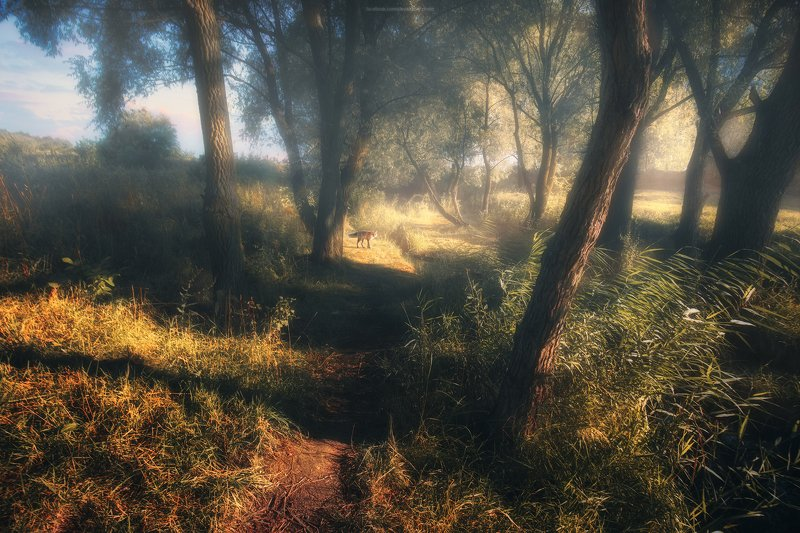 тропа, лес, утро, туман, лиса, деревья, лес, природа, пейзаж, рассвет, свет Летнее утроphoto preview