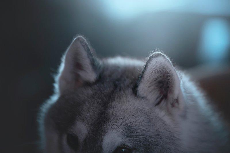 сибирский хаски earsphoto preview