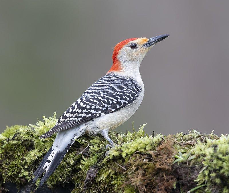 Red-bellied Woodpecker - Каролинский меланерпес